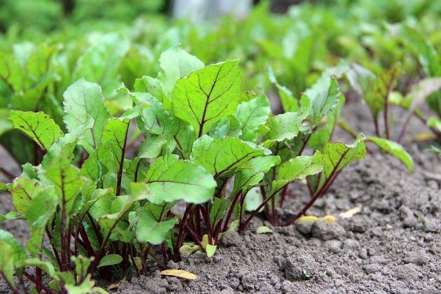 Свекла: готовим почву, проводим посев