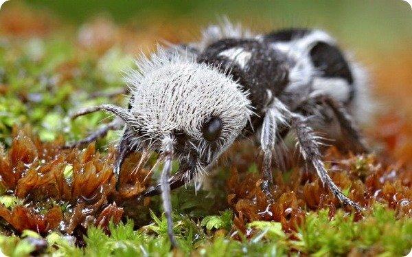 Необычный муравей-панда