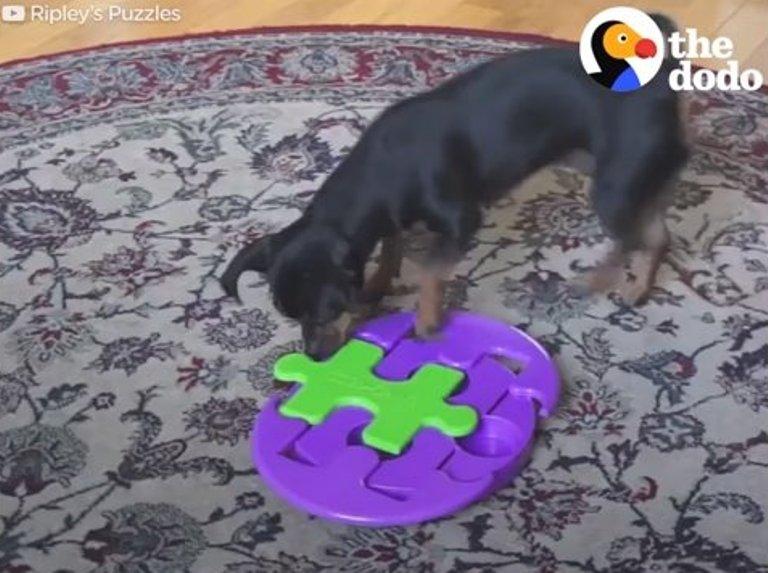 Не собака — а гений! Как она ловко решает головоломки