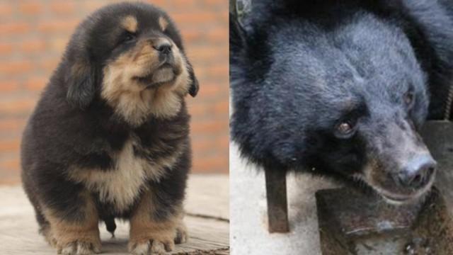Китаец два года заботился о собаке, а она оказалась медведем