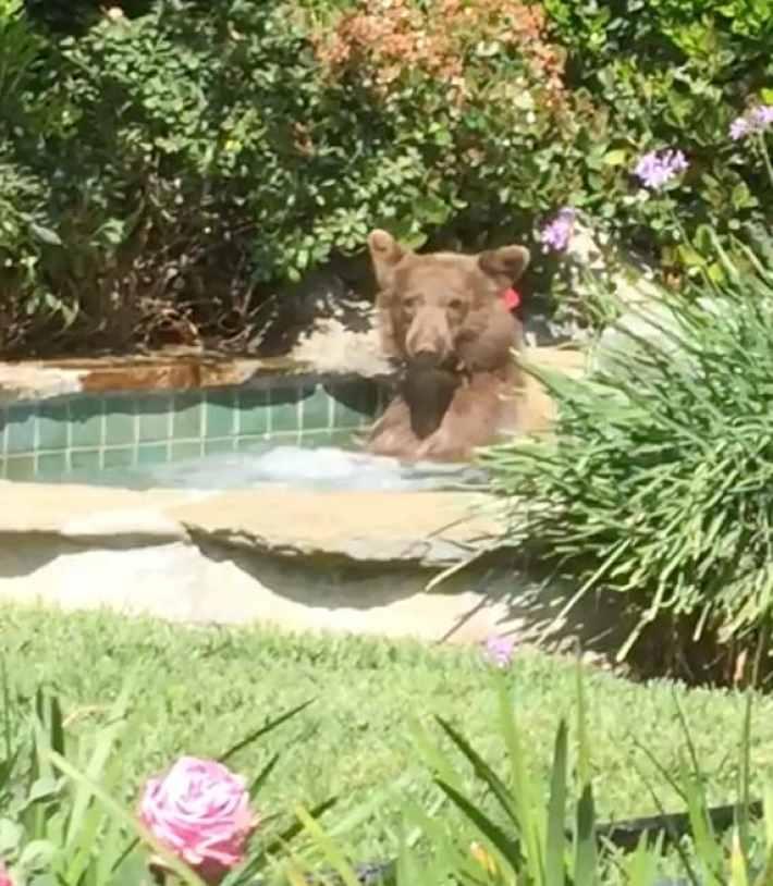 Медведь забрался в джакузи и стал героем лета 2018
