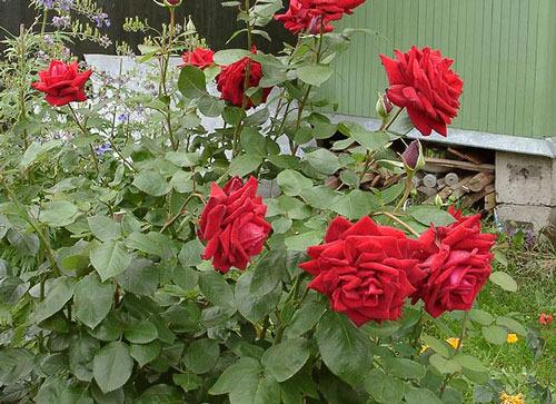 САД, ЦВЕТНИК И ОГОРОД. Клумбовые розы