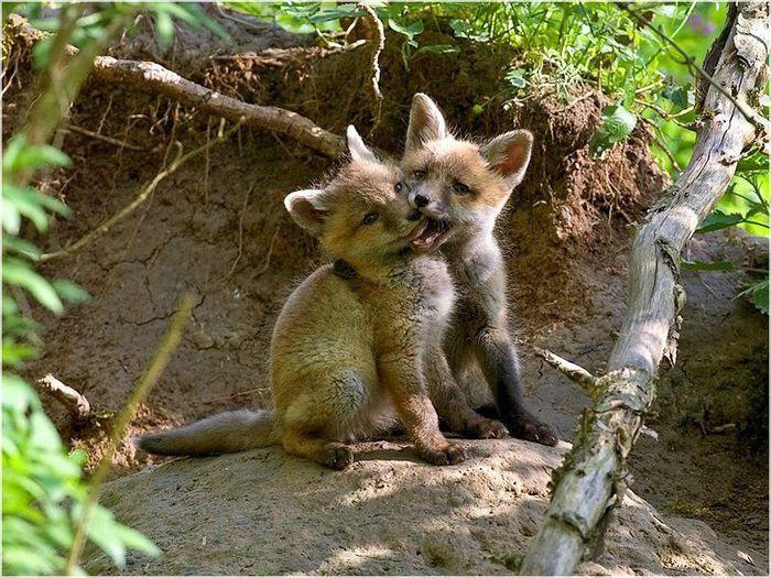 fox_20120409_00640_023 (700x500, 112Kb)