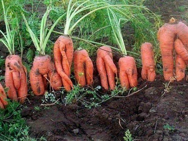 Что делать если из года в год морковь растет корявой и рогатой