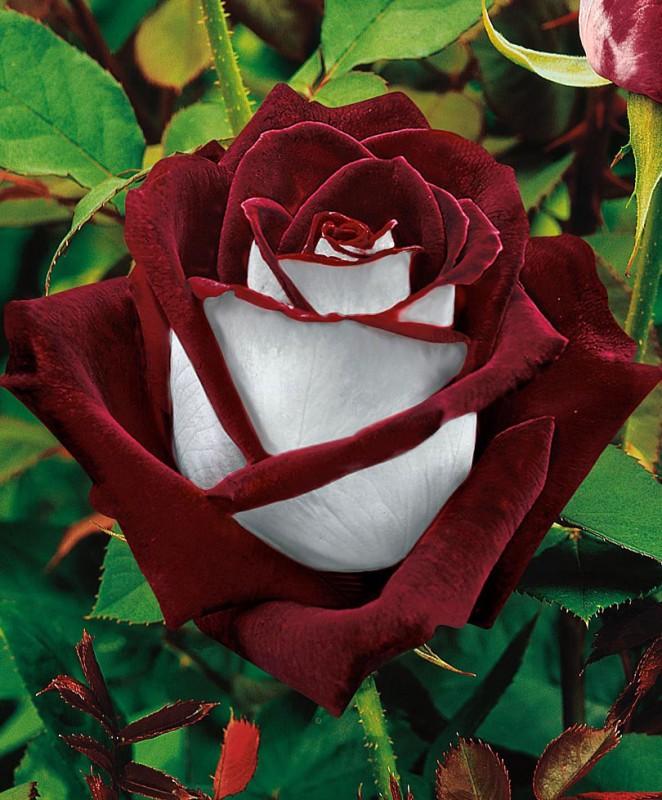 bc1b02d2846a219ad547c93d9ea1ccd9 Роза сорта Osiria