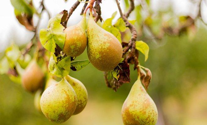 Зимние груши – самые урожайные сорта (фото и описания)