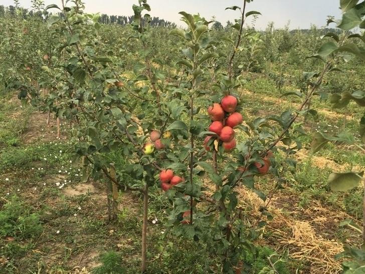 На Кубани с начала 2017 года высажено 1152 га новых садов