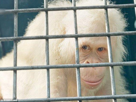 Для единственного в мире орангутанга-альбиноса построили остров