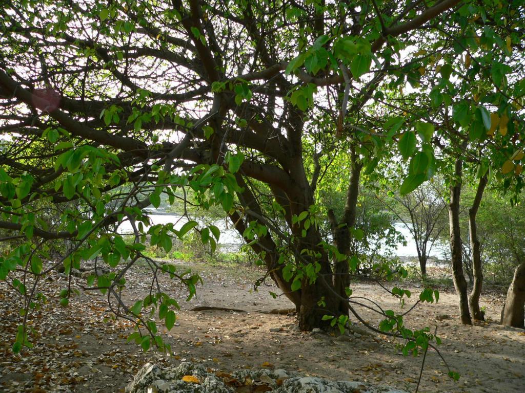 Манцинелловое дерево: где растет, свойства яда, польза и вред