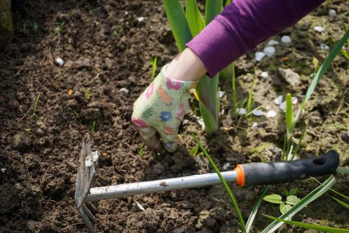 Посадка тюльпанов и других луковичных в октябре