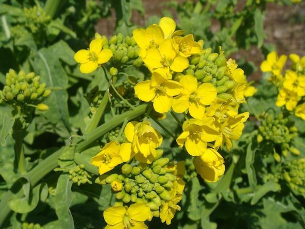 Горчица – главный улучшитель почвы