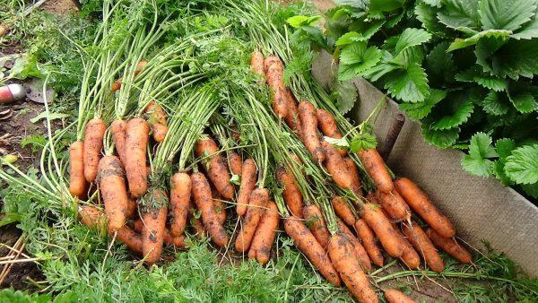 Подробнее о том, как правильно убирать морковку!