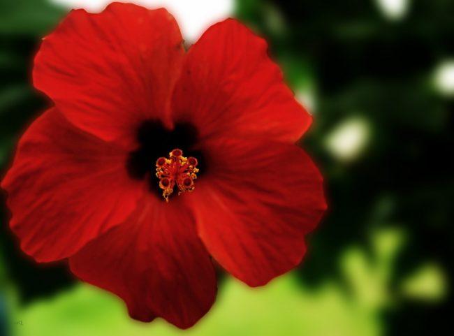 Гибискус не цветет: разбираемся в причинах