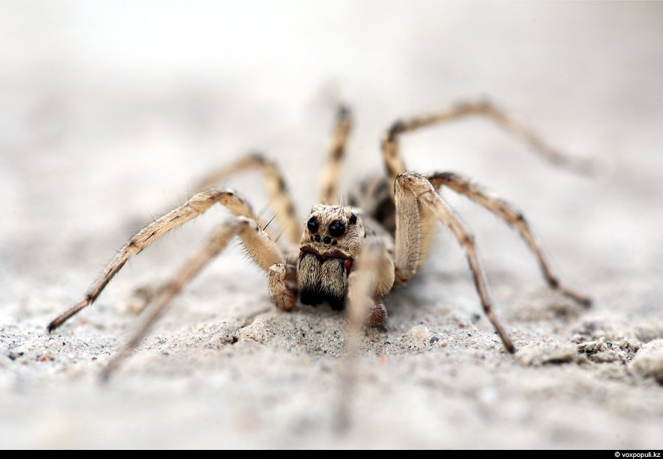 Тарантул — крупный паук семейства пауков-волков