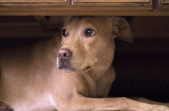 Ученые рассказали, как спасти собаку от фейерверков