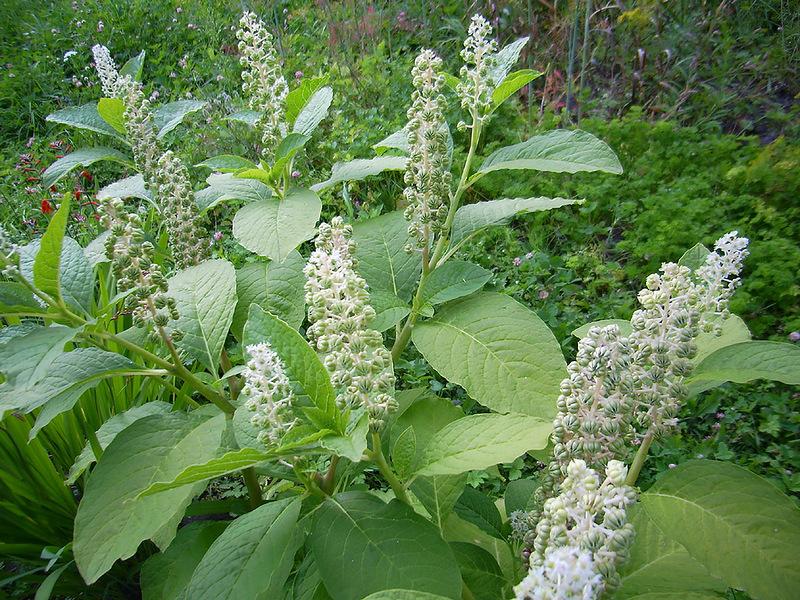 Цветок лаконос свойства и значение