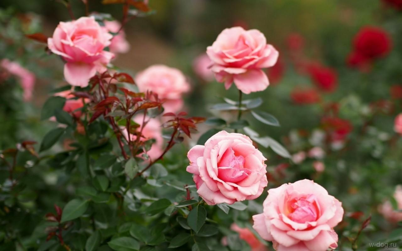 Розам грозят грибные болезни