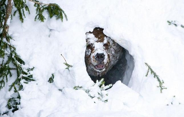 Губернатору Иркутской области подсунули уже убитого медведя?