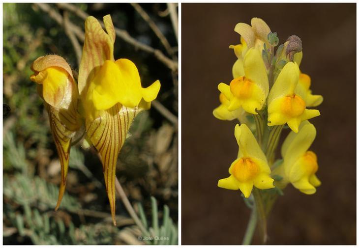 Льнянка (Linaria polygalifolia) красота, особенные, природа, растения, флора, цветы