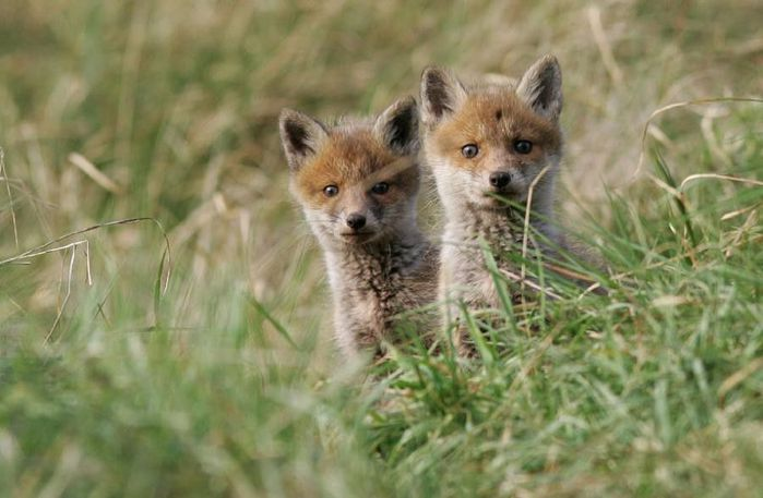 fox_20120409_00640_026 (700x500, 49Kb)