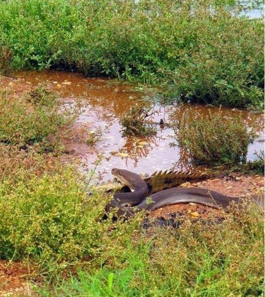 Смертельная схватка хищников: питон против крокодила