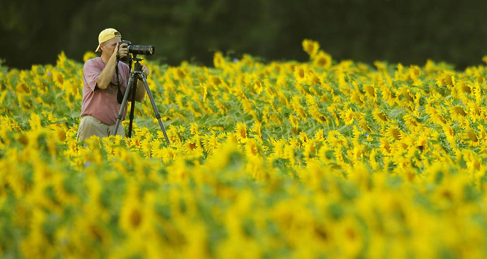 297 В кадре   солнечное золото подсолнухов