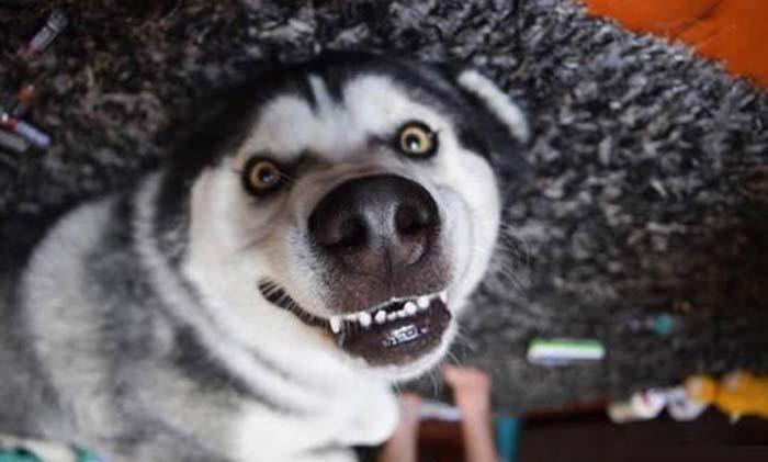 25 доказательств того, что хаски - лучшая порода собак