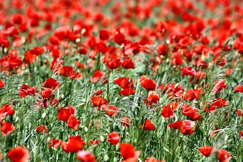 Кабмину предложили разрешить выращивать в России наркосодержащие растения