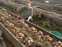 0. уникальная технология посадки картофеля. .  Я нашёл такой способ посадки, сажу таким способом уже несколько лет. .