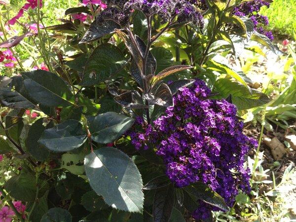Почему из всего многообразия цветов я каждый год сею ГЕЛИОТРОП?