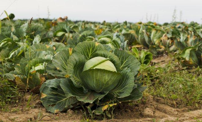Почему листья капусты сохнут, вянут и меняют цвет?