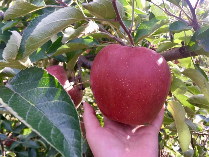 Китайские яблоки