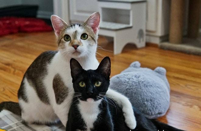 Невероятная любовь: кошка готовилась к рождению котят, а рядом находился взволнованный папа-кот