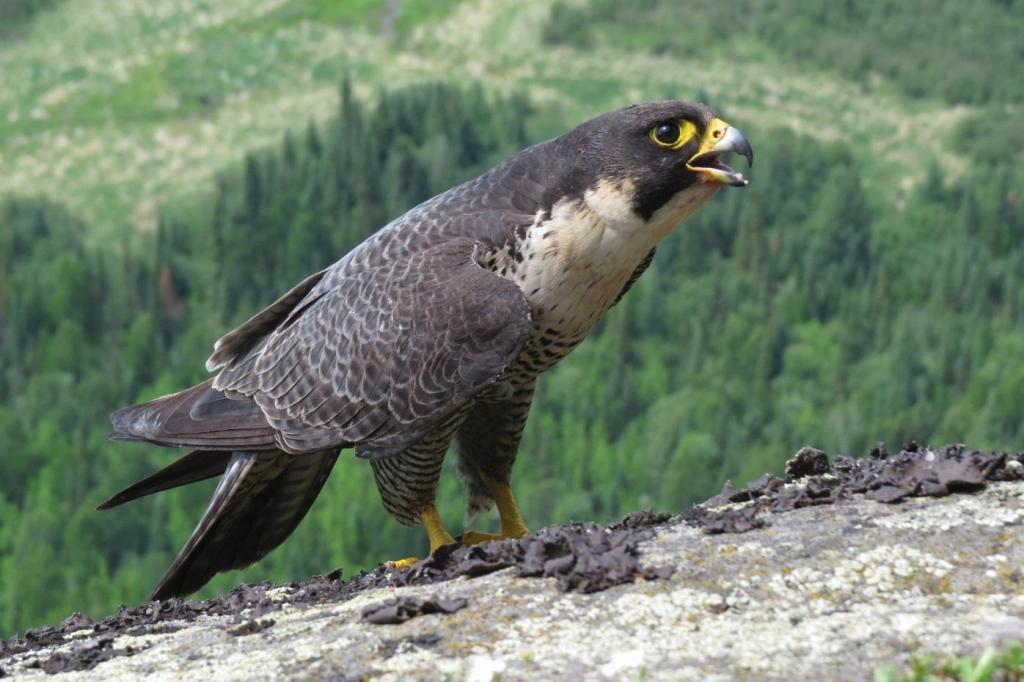 Хищные птицы (роды): коршуны, ястребы, орлы, соколы, луни и другие