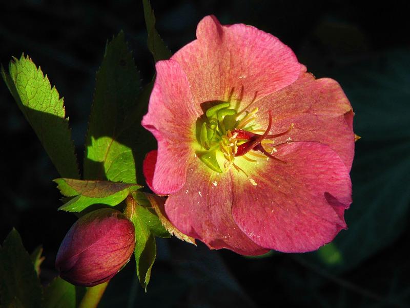 Морозник. выращивание, размножение, фотографии