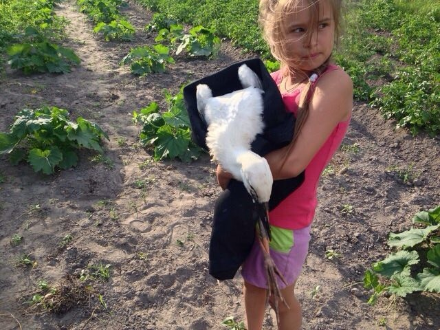 В Брестской области спасли выпавшего из гнезда аистенка