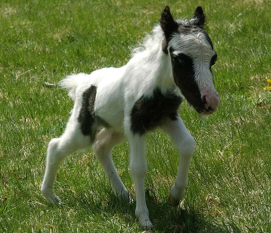 SmallestHourse 10 Эйнштейн   самая маленькая лошадка