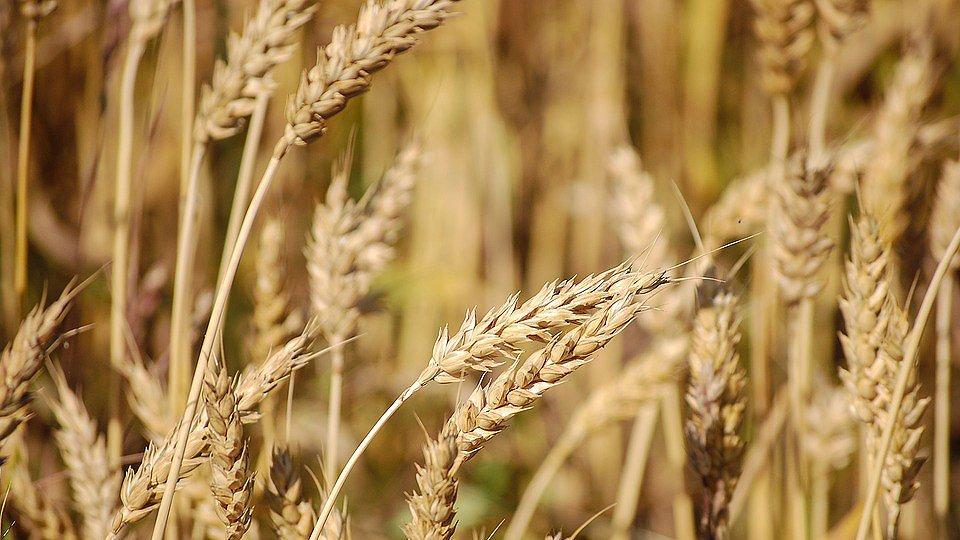 «Это конкуренция»: эксперт объяснил, почему США обеспокоились рекордным урожаем пшеницы в РФ