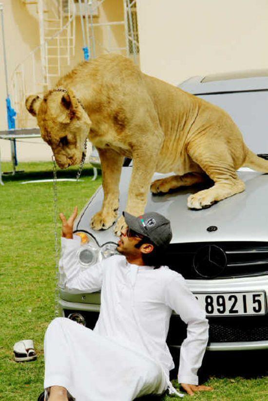 catsncars40 Хищные кошечки и дорогие машины: досуг арабского миллионера