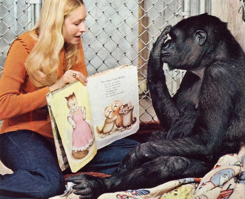 В США умерла горилла Коко, которая знала 2000 слов и умела общаться с людьми