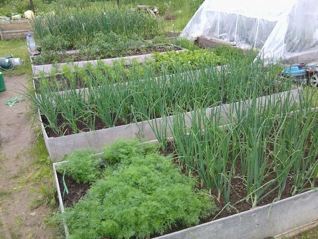 Что посадить на грядку после чеснока и лука в июле-августе?