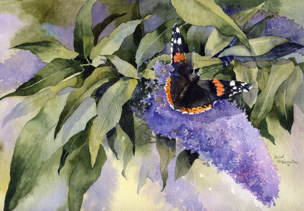 Red Admiral and Buddleia