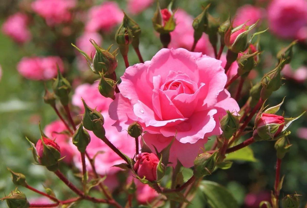 Розы отцвели, что дальше?