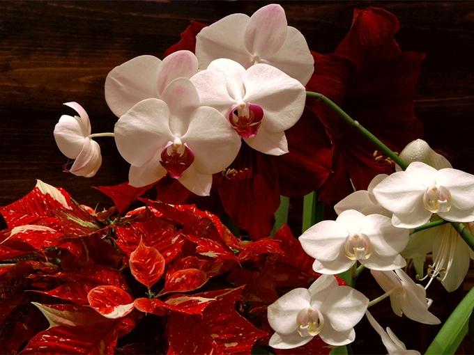 9 самых красивых рождественских цветов - Smak.ua