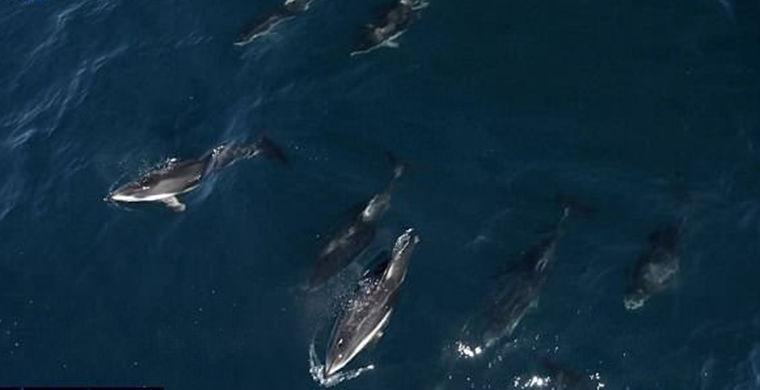 1500 дельфинов «сели на хвост» китенку