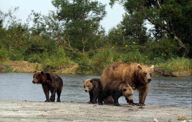На Камчатке медведица «усыновила» осиротевшего медвежонка