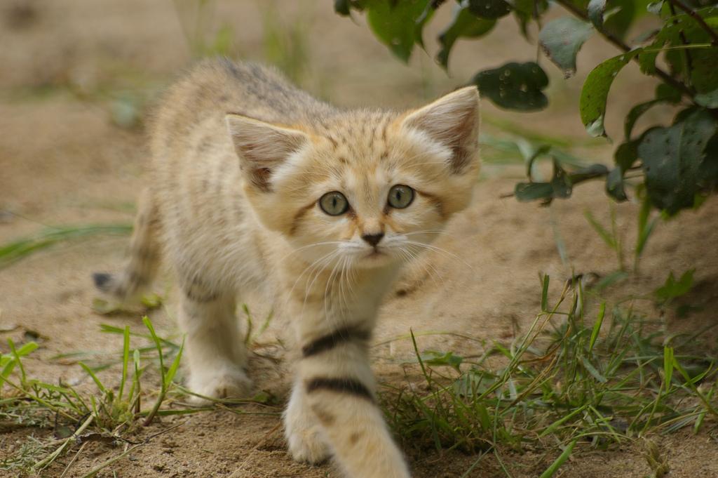 Взрослые песчаные коты выглядят как котята. А их котята тоже выглядят как котята