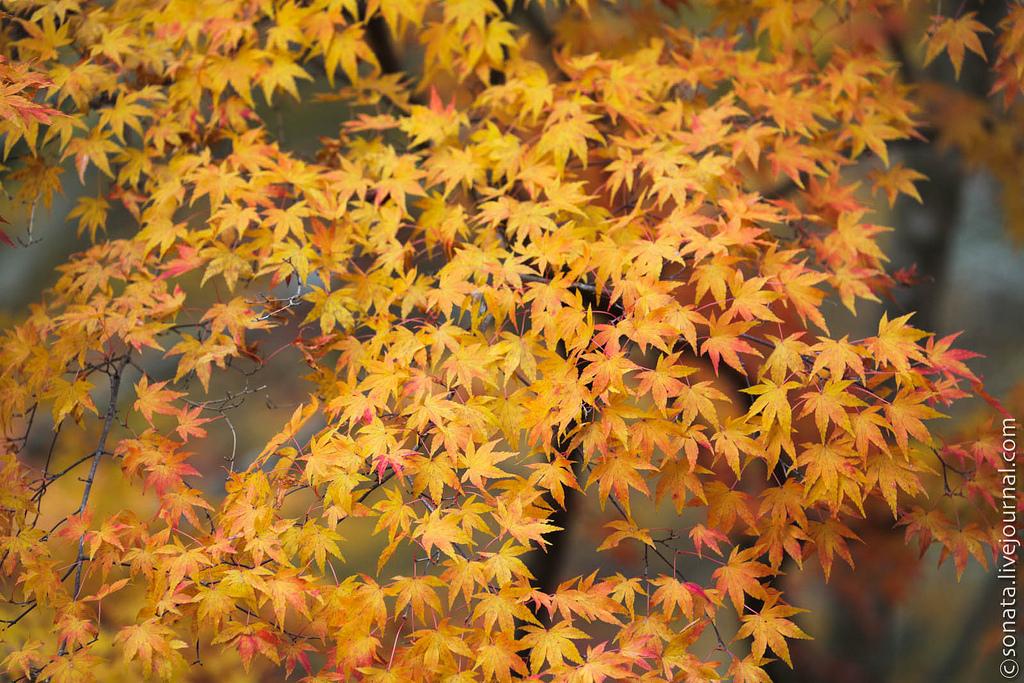240 Клёны в ботаническом саду Кобе