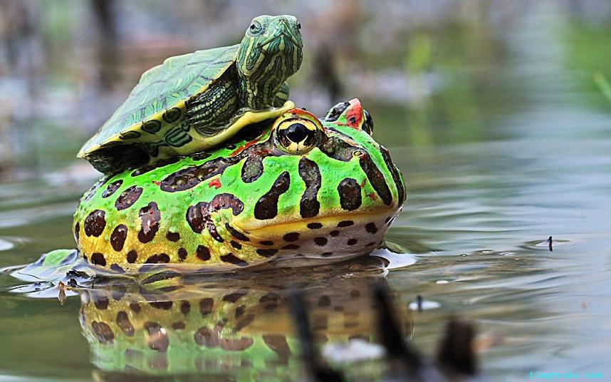 Маленькая черепашка решила прокатиться на спине у лягушки.