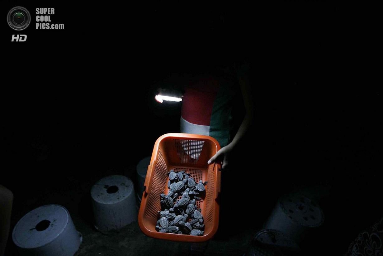 Сезон вылупления оливковых черепах